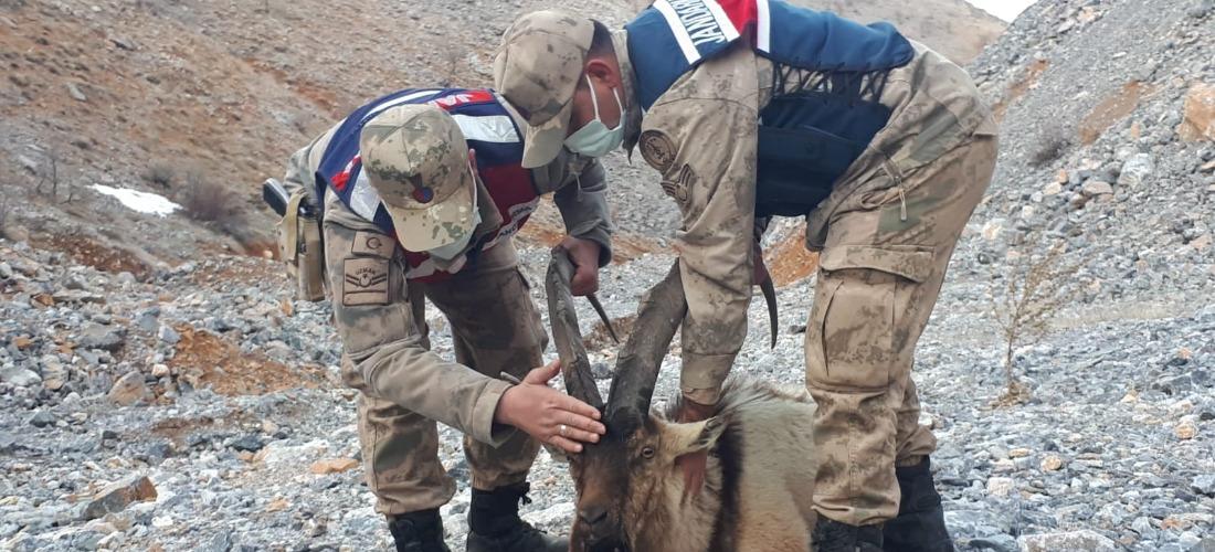 Çobanın bulduğu yaralı dağ keçisi koruma altına alındı